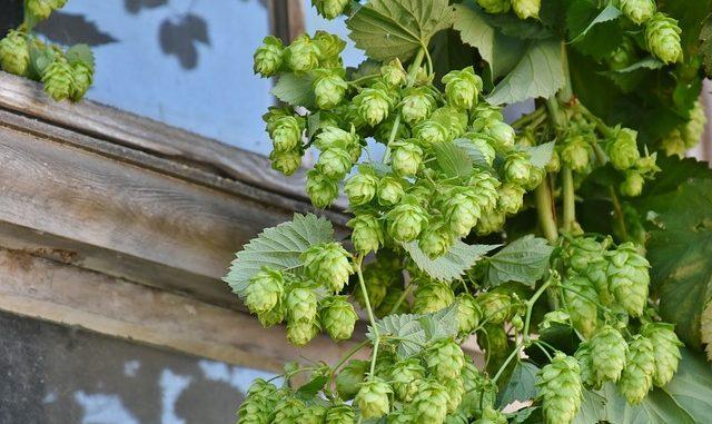 hop-harvest-1596086_640