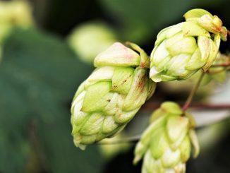 hops-flower-2730269_640