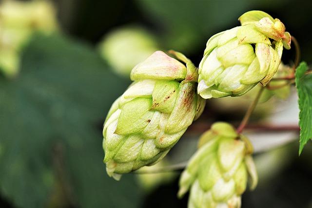 Was du als Bier-Fan über Hopfen wissen solltest